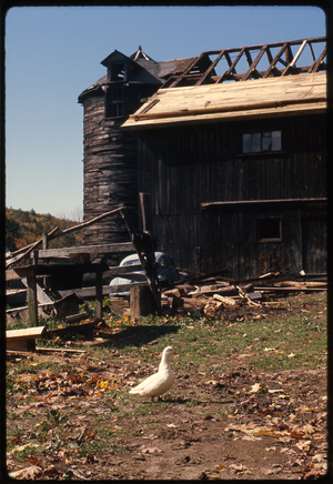 Montague Farm: Barn at Montague, roof under repair, duck in foreground, linking to the digital object