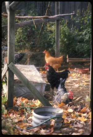 Montague Farm: Chickens