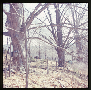 Montague Farm: Sap buckets on tree, sugaring (badly overexposed), linking to the digital object