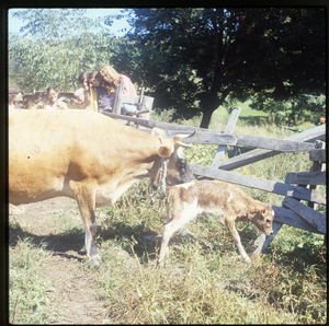 Wendell Farm: Milk cow and newborn calf, linking to the digital object