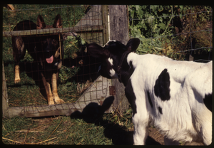 Wendell Farm: Calf and German shepherd, Wendell(?)