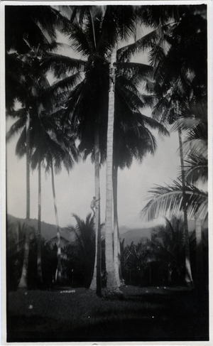 This shows how coconuts are obtained from tall trees.  The men cut small notches for their feet to assist in climbing the biggest trees.  Two men are in the picture, one near the top of the tree in the foreground.  Calian, Davao., linking to the digital object