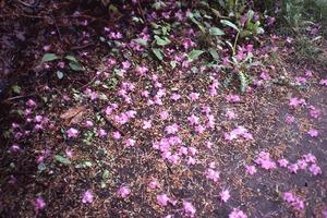 Wendell (Mass.) Bicentennial Celebration: azalea petals