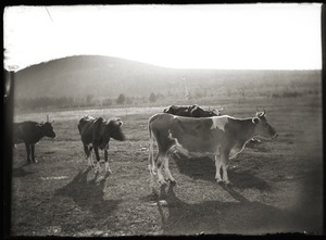 Cows, Mount Pomeroy Lane (Greenwich, Mass.)