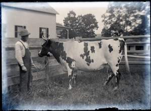 Farmer with milk cow (Greenwich, Mass.)