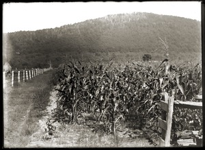 Corn field with Mount Pomeroy in background (Greenwich, Mass.)