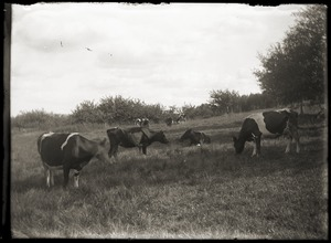 Cattle grazing in a field (Greenwich, Mass.)