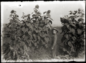 Portrait of a boy among sunflowers (Greenwich, Mass.)