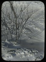 First page of Deciduous shrub in snow