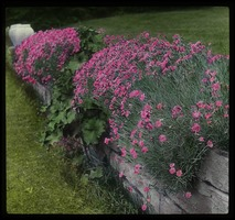 First page of Dianthus on stone wall
