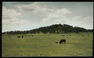 First page of Buffalo So. Dakota (grazing buffalo)