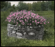 First page of Petunias - pink petunias in round stone planter (old well?)