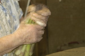 First page of Hibbard Farm: close-up of a woman's hands while bunching asparagus