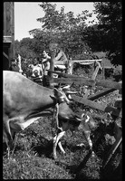 First page of Jersey cow and new born calf in a pen, Montague Farm Commune Commune members in the background include Nina Keller (far left) and Tony             Mathews (second from right)
