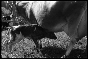 First page of Jersey cow and new born calf, Montague Farm Commune