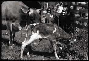 First page of New born Jersey calf and mother, Montague Farm Commune