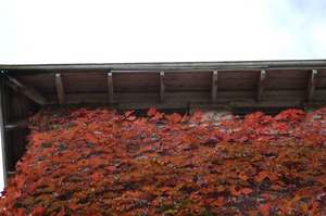 First page of View looking at roof of ivy growing on the Cow Barn Brooks Barn Complex, UMass Amherst
