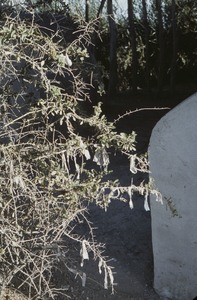 Thumbnail of Thorn bush with fabric pieces in cemetery