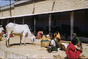 Thumbnail of White cow is fed at bazaar in Bangalore