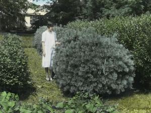 Thumbnail of White pine and Euonymus hedges (woman among hedges)