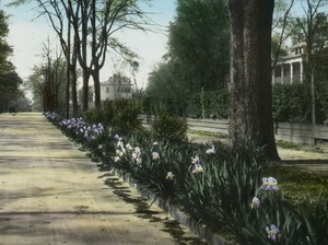 Thumbnail of Iris used as under-planting along residential road