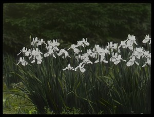 Thumbnail of Siberian iris, Waugh garden