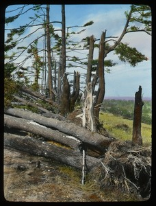 Thumbnail of Damaged and uprooted pine trees