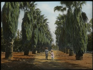 Thumbnail of Washingtonia palms, California