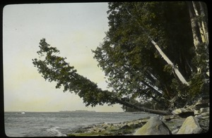 Thumbnail of Arbor vitae, Lake Champlain (old tree leaning over beach)