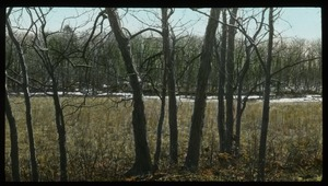 Thumbnail of Shagbark hickory at the edge of a field in winter