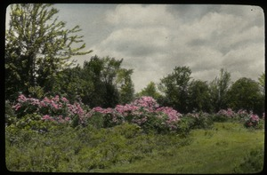 Thumbnail of North Amherst (mountain laurel)