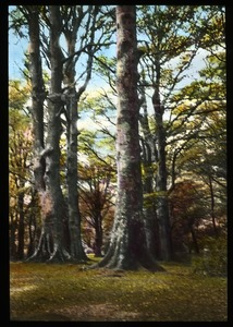 Thumbnail of Beeches in New Forest, England