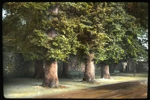 Thumbnail of English elms, Winchester, Eng.