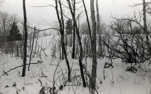 Thumbnail of Birch stand in the snow, Warwick woods