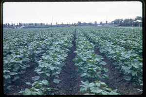 Thumbnail of Neat row of crops in a field (soybeans)