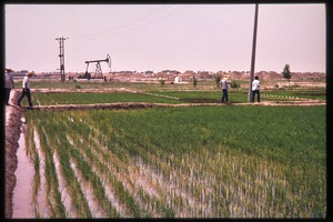 Thumbnail of Rice paddies with oil rig in the background