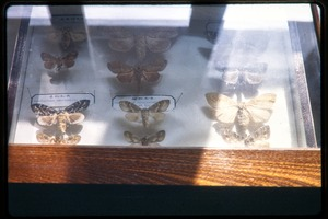 Thumbnail of Chinese Academy of Sciences, Institute of Zoology: mounted moth specimens