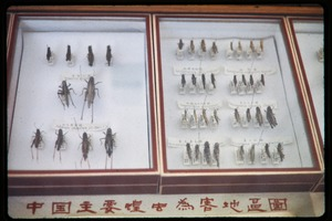 Thumbnail of Chinese Academy of Sciences, Institute of Zoology: mounted grasshopper specimens