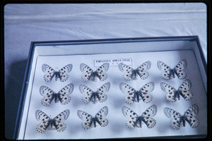 Thumbnail of Chinese Academy of Sciences, Institute of Zoology: mounted butterfly specimens (Parnassus apollo)