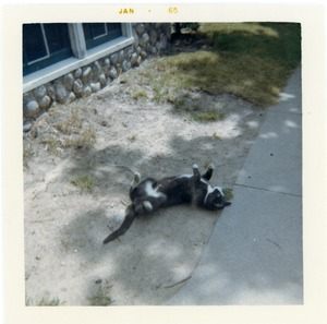 Thumbnail of Felix the cat, rolling in the dirt