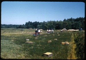 Thumbnail of Cranberry harvest with workers using mechanical pickers (Western pickers) and crates arrayed on the bog,  Duxbury Cranberry Company