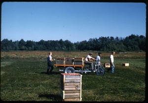 Thumbnail of Cranberry harvest, with bog cart hauling full crates; Duxbury Cranberry Company