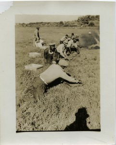 Thumbnail of Dry harvesting cranberries on Duxbury Cranberry Company bog using hand scoops Shadow of Kenneth G. Garside and pipe taking photograph