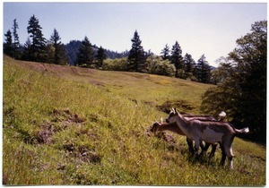 Thumbnail of Serendipity Farm goats grazing in neighboring meadow