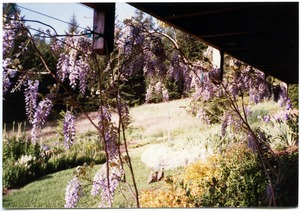 Thumbnail of Wisteria under front deck, Salmon Creek house