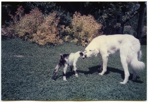 Thumbnail of Maya the dog meeting Zetta the baby goat