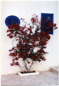 Flowering bush outside residence, Sid Bou Said