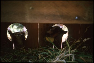 Thumbnail of Kid goats feeding at stanchions in barn