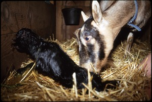 Thumbnail of Newborn kid and mother, Serendipity Farm barn