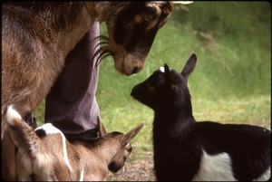 Thumbnail of Mama goat (probably Kate) and her two progeny